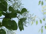 2009년 이팝나무꽃 염원은