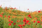 심학산 돌곶이꽃축제..