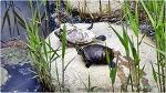 일광욕하는 거북이들