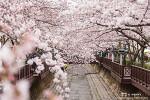 진해 벚꽃축제, 여좌천 로망스다리 위 하늘을 가득 메운 벚꽃