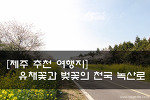 [제주 추천 여행지] 4월 제주는 유채꽃과 벚꽃의 천국! 제주 녹산로 유채꽃 길