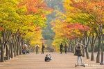 울산 문수구장 마로니에길, 가을 단풍으로 곱게 물들었다.