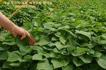 호박고구마모종/밤고구마모종/꿀고구마모종  당도좋은 해남고구마모종으로 맛있는 농사를 지어보세요 ~^^