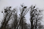 """알래스카"""" 나무에 열리는 독수리들 (?)"""""""