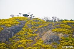 응봉산 (봄의 노랑빛) - 서울 사진 찍기 좋은 곳