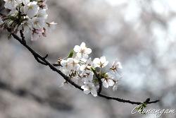 2017년 벚꽃
