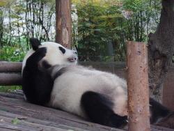 [중국 사천지방 여행] 성도(청두)에 와서 팬더도 못보고 훠궈도 못먹어봤으면 와봤다고 하지 마라