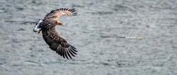 한강의 흰꼬리수리 White tailed sea eagle