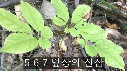 567잎장 산삼 사진 기록