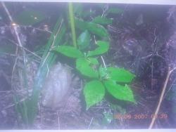 2007년 정해년에 만난 야생삼 사진 (산원초)