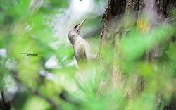 여름에 담은 청딱따구리 ( Grey-headed woodpecker ) 에헤헤~에헤~청딱따구리 수컷