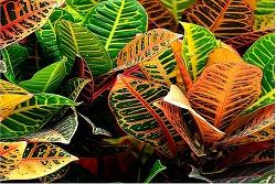 화려한 잎이 매력적인 공기정화식물 크로톤 키우는 법