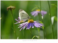 [9월 야생화] 벌개미취와 배추흰나비.네발나비.줄점팔랑나비