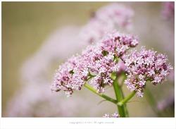 [5월 분홍야생화] 쥐오줌 냄새가 나는 쥐오줌풀(길초)