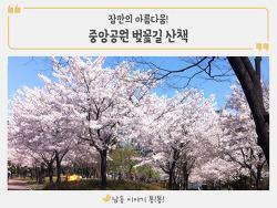 잠깐의 아름다움~ '중앙공원 벚꽃길' 산책