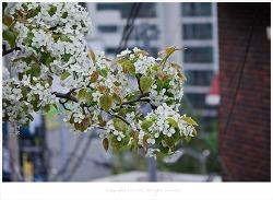[4월 흰꽃나무] 하얀 배나무꽃 향기