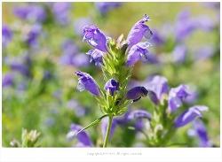 [6-8월 보라색야생화] 용머리를 닮은 용머리꽃