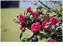 동백꽃 종류