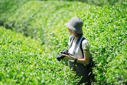 [보성] 녹차밭