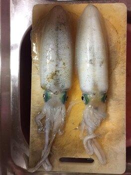 제주도 무늬오징어 낚시 조황