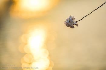 월영교 벚꽃