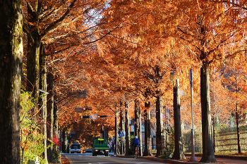 도심에서 즐기는 아름다운 메타쉐콰이어 길! 창원 가로수길!(창원명소)