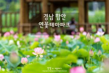 함안 연꽃테마파크, 700년 만에 다시 꽃을 피운 아라 홍련