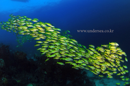 school of yellow striped snapper, Raja Ampat, Indonesia