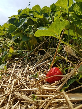 노지 딸기가 빨갛게 익어가는 폴란드 농가