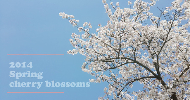 [윤중로 나들이] 벚꽃잎이 나풀~나풀~