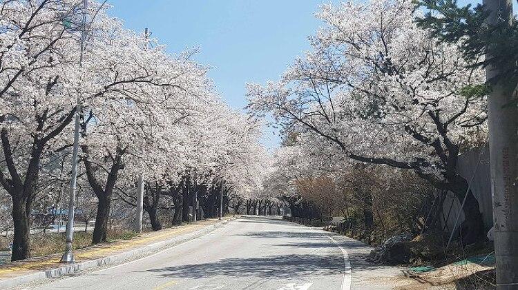 [충북 수안보]왕의 온천길에 만나는 벚꽃의 향연