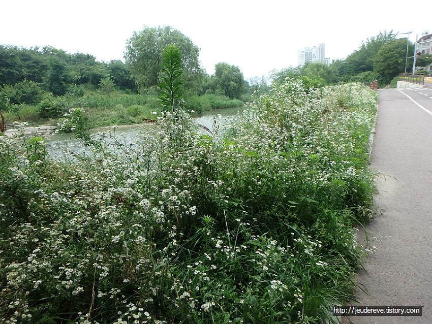 6월의 마지막 날, 하천가 풍경, 개망초, 기생초, 소리쟁이, 패랭이꽃 그리고 오리들