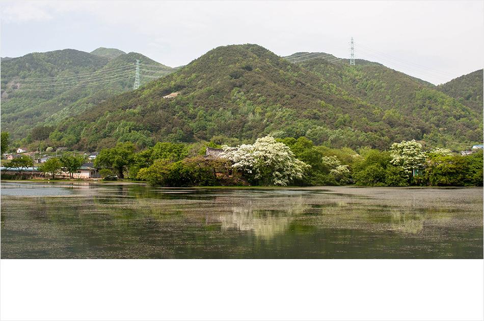 이팝나무 가득했던 위양지의 봄