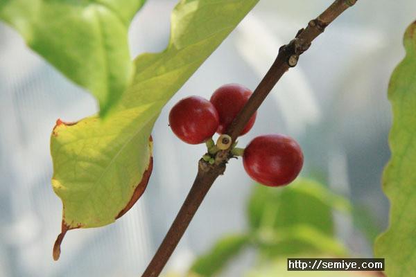 식물-아파트-아파트식물기르기-아파트베란다-관엽식물-공기정화식물-동양란-서양란-커피나무-coffee-coffeeshop-coffeetree-커피나무-커피-원두-생두-커피콩-커피체리-커피나무기르기-식물-커피전문점-카페인