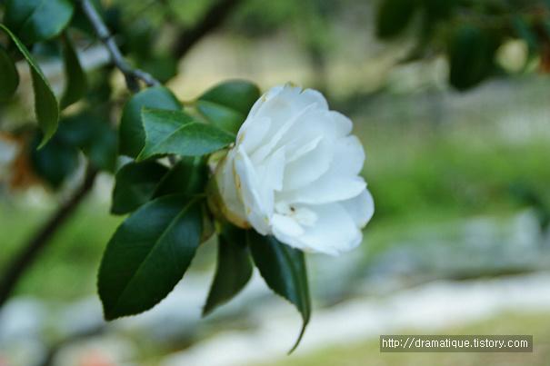 백동백-감태나무(白冬柏)