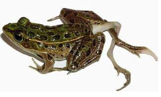 기형개구리, 체르노빌 방사능으로 인한 유전자 변형?