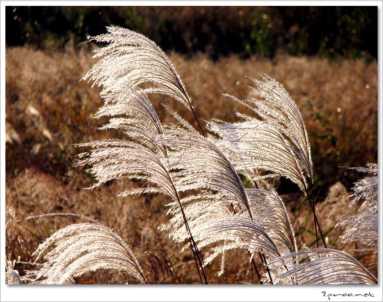 가을 갈대밭과 단풍사진, 코스모스 사진