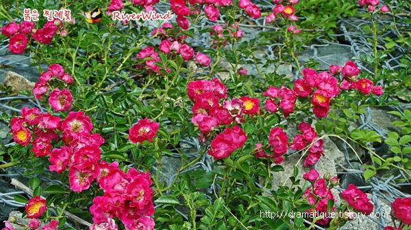 빨간 찔레꽃 Red Rosa multiflora