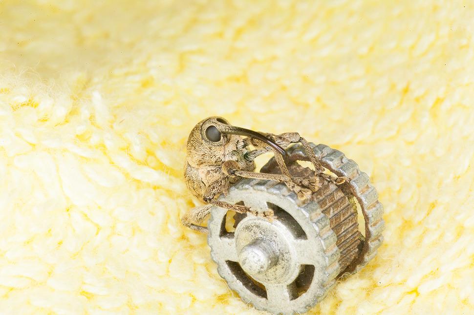 바구미 곤충 마크로렌즈 촬영 사진