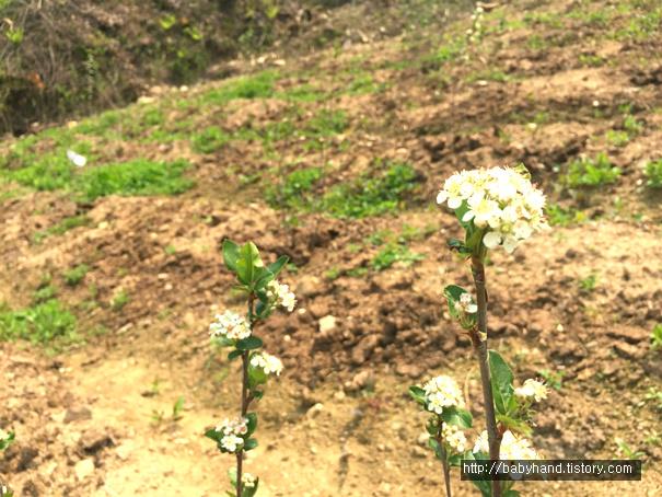 아로니아 꽃