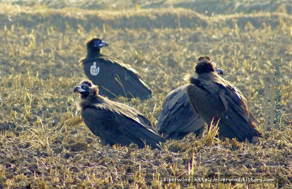 mongolia eagles T9