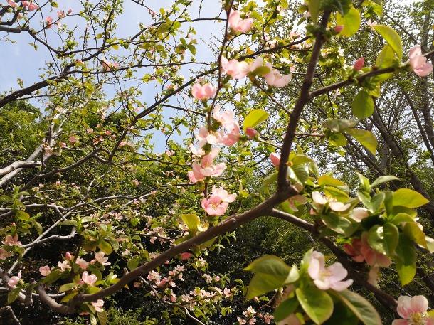 모과나무 꽃