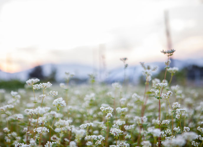 메밀꽃이 활짝핀 메밀꽃밭