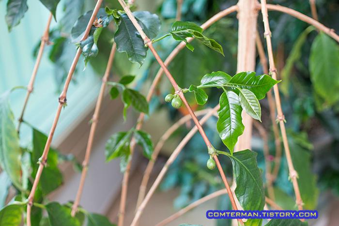 베란다 커피나무