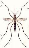 이집트숲모기(Aedes aegypti)