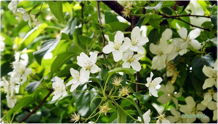 야광나무 꽃