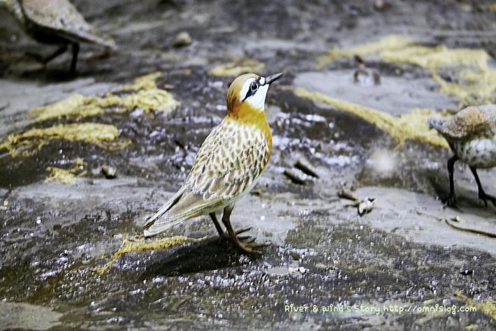 왕눈물떼새-Charadrius mongolus::OmnisLog
