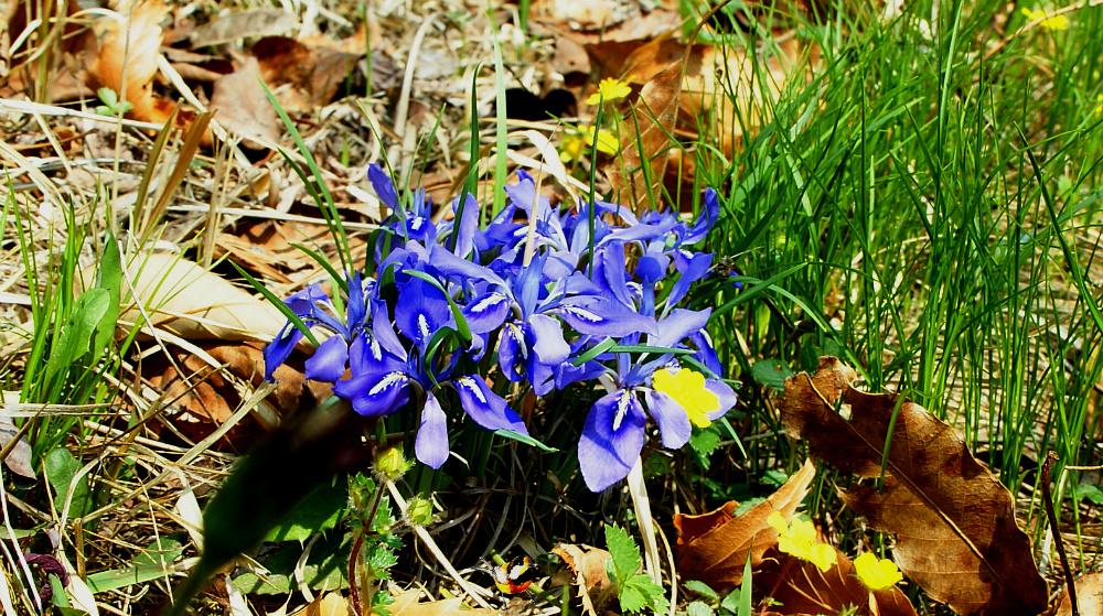 예쁜 자주색 각시붓꽃- 아이리스-Iris