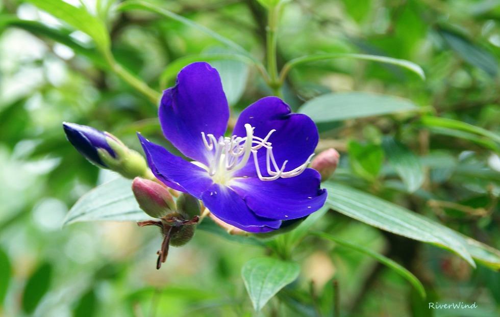 야모란 Asian melastome 야모단(野牡丹).