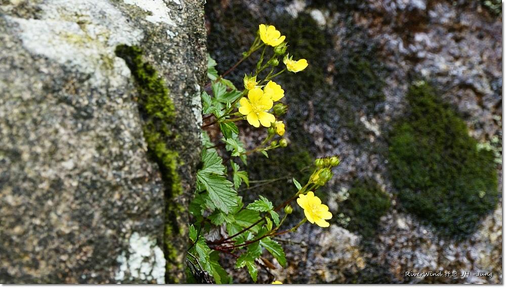 산골 바위틈에 핀 노란 야생화